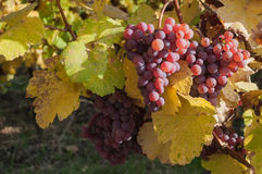 Autumnal leaves and bunch of grapes of vine in a viney Royalty Free Stock Photography
