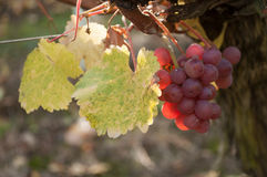 Autumnal leaves and bunch of grapes of vine in a viney Stock Images