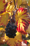 Autumnal leaves and bunch of grapes of vine in a viney Stock Photos