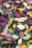 Autumnal leaves carpet Royalty Free Stock Image
