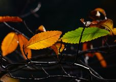 Autumnal leaves of chestnut tree Royalty Free Stock Photo