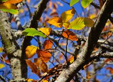 Autumnal leaves of chestnut tree Royalty Free Stock Photography