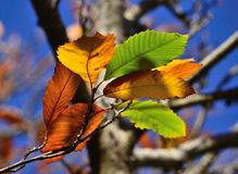 Autumnal leaves of chestnut tree Stock Photo