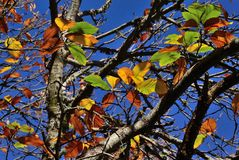 Autumnal leaves of chestnut tree Stock Photography
