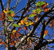 Autumnal leaves of chestnut tree Stock Images