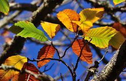 Autumnal leaves of chestnut tree Stock Photos