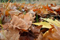 Autumnal leaves Stock Image