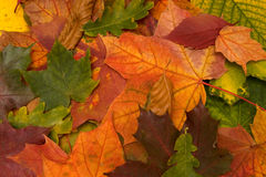 Autumnal leaves closeup Stock Images