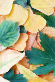 Autumnal leaves composition. Composition, from autumnal maple and lime leaves Stock Image