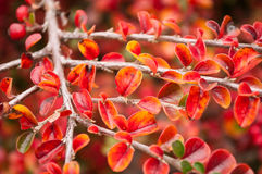 Autumnal leaves of cotoneaster Royalty Free Stock Photo