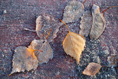 Autumnal leaves with frost lay on wooden table. In cold morning park Royalty Free Stock Image