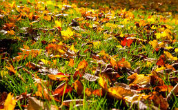 Autumnal leaves in the grass Stock Image