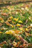 Autumnal leaves in the grass Royalty Free Stock Photography