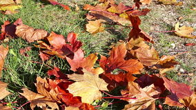 Autumnal  leaves on the ground stock video