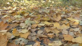 Autumnal leaves on the ground stock video footage