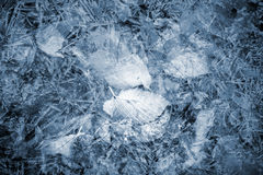 Autumnal leaves lay under thin layer of blue ice Royalty Free Stock Image