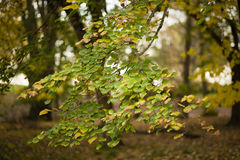 Autumnal leaves of lime tree, Stock Images