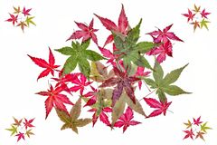 Autumnal leaves of maple Stock Photography