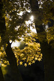 Autumnal leaves of Maple tree Royalty Free Stock Photos