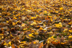 Autumnal leaves of maple tree on the floor Stock Photography