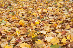 Autumnal leaves of maple tree on the floor Royalty Free Stock Image