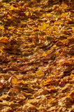 Autumnal leaves Stock Photography
