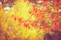 Autumnal leaves on oaken branch. Forest in fall landscape. Nature outdoor vegetation concept Stock Images