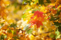 Autumnal leaves, red and yellow maple foliage against  forest Royalty Free Stock Photography