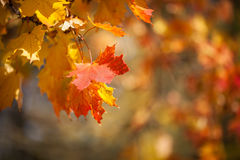 Autumnal leaves, red and yellow maple foliage against  forest Royalty Free Stock Photos