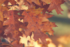 Autumnal leaves on a tree Royalty Free Stock Photo