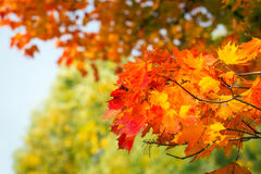 Autumnal leaves on the tree Stock Photo