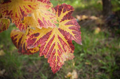 Autumnal leaves of vine in a vineyard Stock Photography