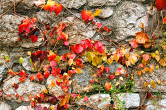 Autumnal leaves on the wall Stock Photos