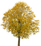 An autumnal lime tree Royalty Free Stock Photography