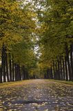 Autumnal linden alley 2. Autumnal alley of linden at rainy weather Stock Photos