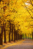 Autumnal linden alley. Colorful Linden alley in Kiev Botanical garden in the fall. Ukraine Royalty Free Stock Photography