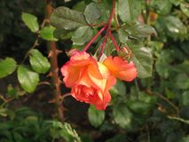 Little orange rose. Autumnal little orange rose flower in the garden royalty free stock photography