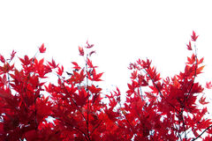 Autumnal Maple Border Royalty Free Stock Image