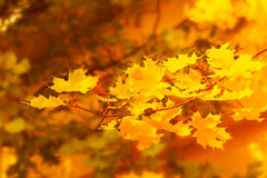Autumnal maple branch on golden fall background Royalty Free Stock Photography