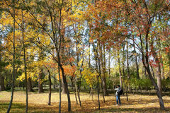 Autumnal maple forest Royalty Free Stock Images