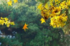 Autumnal maple grove Stock Images