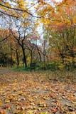 Autumnal maple grove Royalty Free Stock Photos