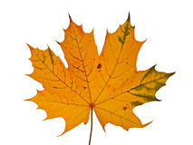 Autumnal maple leaf. Isolated on white background Royalty Free Stock Photo
