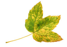 Autumnal maple leaf. Autumnal many-colours maple leaf on white background stock images