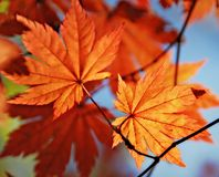 Free Autumnal Maple Leaf Stock Photo - 11492340