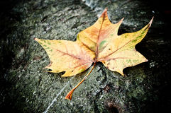 Autumnal maple leaf on black wooden background Royalty Free Stock Photo