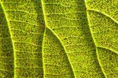 Autumnal maple leaf Stock Photo
