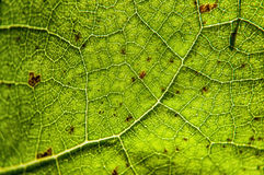 Autumnal maple leaf Royalty Free Stock Photo