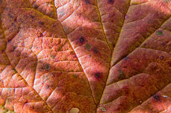 Autumnal maple leaf Royalty Free Stock Photography