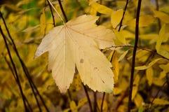 Autumnal maple leaf Royalty Free Stock Photos